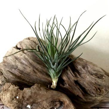 チランジア・モンタナ・ブラック Tillandsia montana 'Black' ティランジア育て方 図鑑