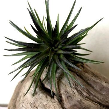 チランジア・テヌイフォリア・パープルファン Tillandsia tenuifolia 'Purple Fan' ティランジア育て方 図鑑