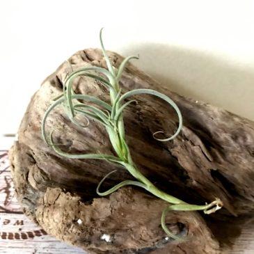 チランジア・クロカータ・ジャイアント Tillandsia crocata 'Giant' ティランジア育て方 図鑑