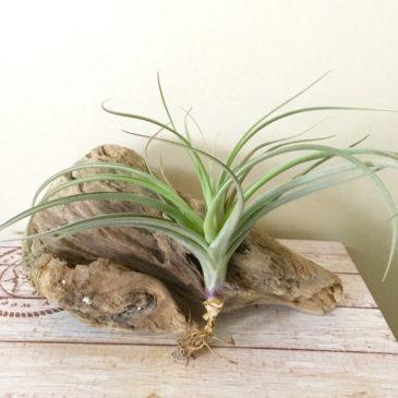 チランジア・ドゥラティー×ガルドネリー Tillandsia duratii × T. gardneri ティランジア育て方 図鑑