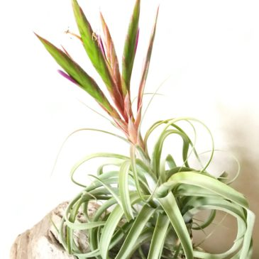 チランジア・トゥーラーラ Tillandsia Toolara (T.streptophylla x T.concolor) ティランジア育て方 図鑑