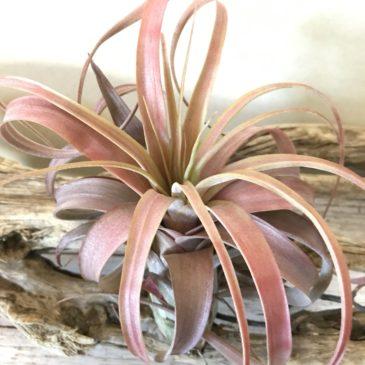 チランジア・ ラブノット Tillandsia Love Knot (T. capitata x T. streptophylla) ティランジア育て方 図鑑
