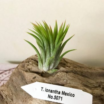 チランジア・イオナンタ・メキシコ(No.5071) Tillandsia ionantha 'Mexico' (No.5071) ティランジア育て方 図鑑