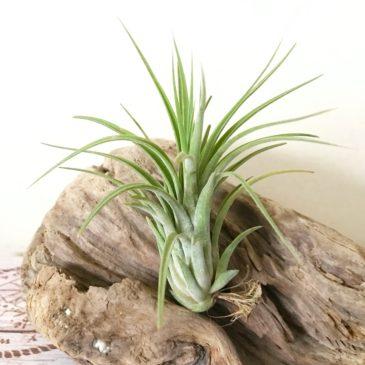 チランジア・ゼンメロディー Tillandsia Zen Melody(T. Toolara × T. Mayan Feathers) ティランジア育て方 図鑑