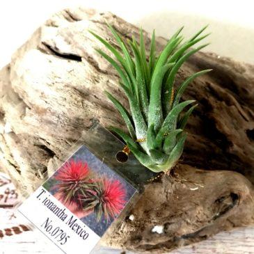 チランジア・イオナンタ・メキシコ(No.0795) Tillandsia ionantha 'Mexico' (No.0795) ティランジア育て方 図鑑
