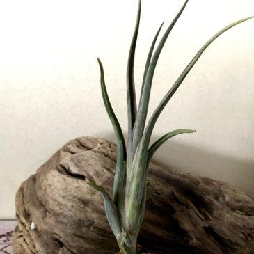 チランジア・インターメディア×パウシフォリア Tillandsia intermedia x T. paucifolia ティランジア育て方 図鑑