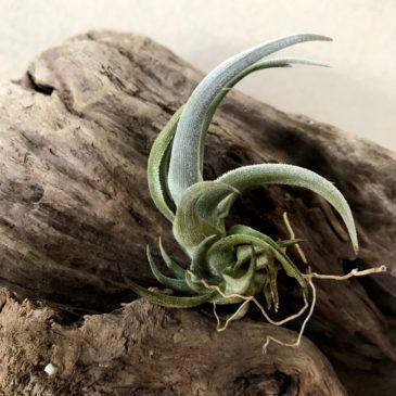 チランジア・クシフィオイデス Tillandsia xiphioides 育て方 図鑑