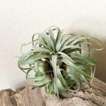 【Frontier Plants】オンラインストア6月15日約100種類!入荷予定商品の紹介・前編【エアプランツ チランジア】