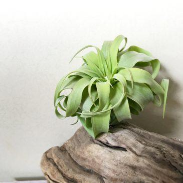 【Frontier Plants】オンラインストア6月15日約100種類!入荷予定商品の紹介・後編【エアプランツ チランジア】