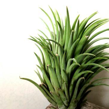 【Frontier Plants】オンラインストア6月15日約100種類!入荷予定商品の紹介・中編【エアプランツ チランジア】