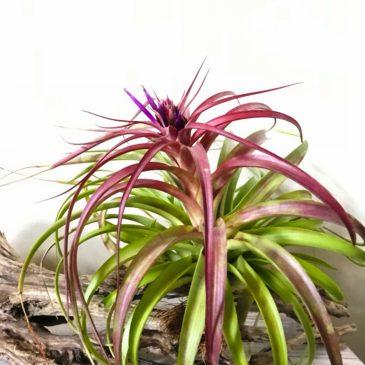 チランジア・ブラデアナ×ローランドゴッセリーニ Tillandsia bradeana x T.roland-gosselinii ティランジア育て方 図鑑
