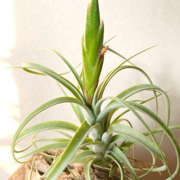 チランジア・コンコロール×ストレプトフィラ Tillandsia concolor × T.streptophylla ティランジア育て方 図鑑