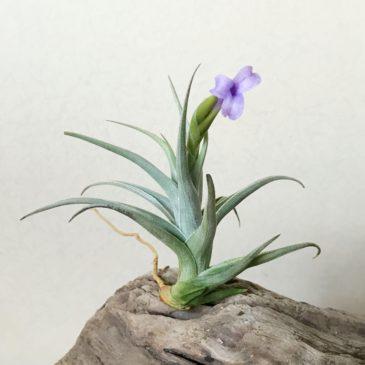 チランジア・ゼチェリ Tillandsia zecheri ティランジア育て方 図鑑