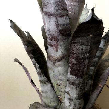 ホヘンメア・A Hohenmea A(Ae. chantinii x Hohen. leopoldo-horstii) タンクブロメリア 育て方 図鑑 【Frontier Plants】
