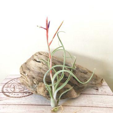 チランジア・アリザジュリア×プルイノーサ Tillandsia arhiza-Juliae × T. pruinosa ティランジア育て方 図鑑