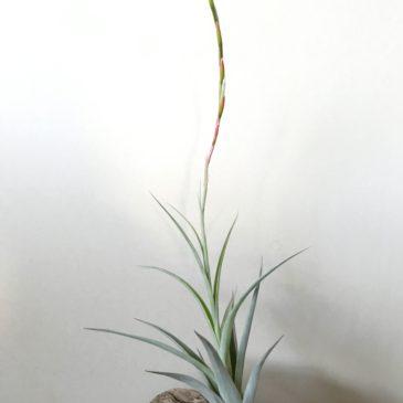 チランジア・アルビダ×インターメディア Tillandsia albida x T. intermedia(Vivipara) ティランジア育て方 図鑑