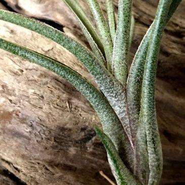 チランジア・ブッツィー×イオナンタ Tillandsia butzii × T. ionantha ティランジア育て方 図鑑