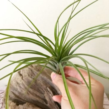 チランジア・ロドリゲジアナ×ブラキカウロス Tillandsia rodrigueziana × T. brachycaulos ティランジア育て方 図鑑