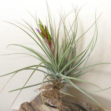 チランジア・ファシクラータ・ゴールデンドワーフ Tillandsia fasciculata 'Golden Dwarf' ティランジア育て方 図鑑