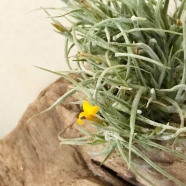 チランジア・クロカータ・トリスティス Tillandsia crocata var. tristis ティランジア育て方 図鑑