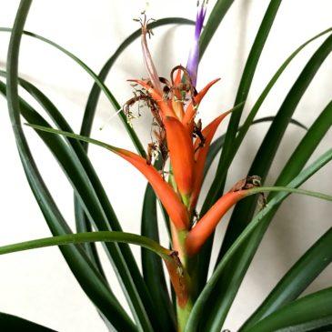 チランジア・フォリオーサ Tillandsia foliosa(Guzmania megastachya) ティランジア育て方 図鑑