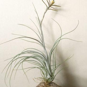 チランジア・ディスティカ・ペトレア Tillandsia disticha 'Petrea' (var. petrea) ティランジア育て方 図鑑