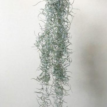 チランジア・ウスネオイデス・カーリーフォーム Tillandsia usneoides 'Curly Form' ティランジア育て方 図鑑