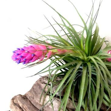 チランジア・ストリクタ・ギガンティクス Tillandsia stricta 'Giganticus' ティランジア育て方 図鑑