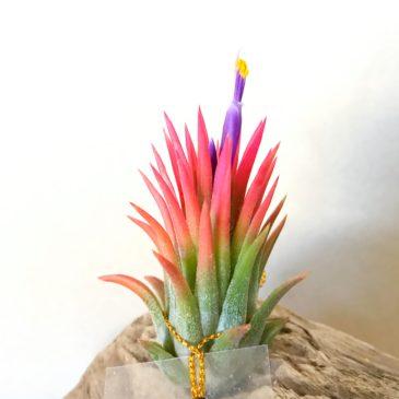 チランジア・マヤントーテムポール Tillandsia Mayan Totem Pole ティランジア育て方 図鑑