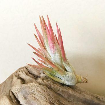 チランジア・イオナンタ・バンハイニンギー(タイプ2) Tillandsia ionantha var. vanhyningii (Type 2) ティランジア育て方 図鑑