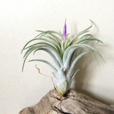 チランジア・チアペンシス×ミトラエンシス Tillandsia chiapensis × T. mitlaensis ティランジア育て方 図鑑