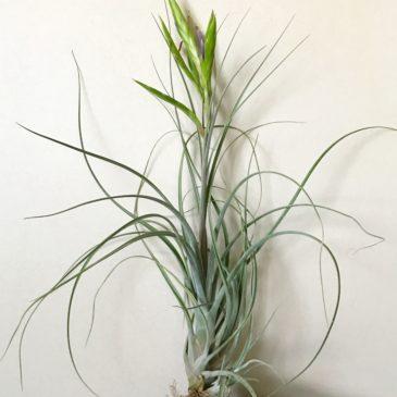 チランジア・カプトメデューサ×フラベラータ Tillandsia caput-medusae × T. flabellata ティランジア育て方 図鑑