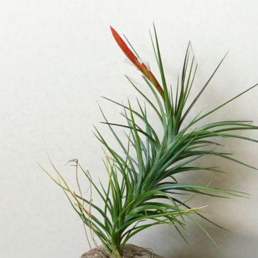 チランジア・カウレッセンス Tillandsia caulescens ティランジア育て方 図鑑