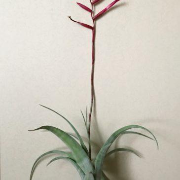 チランジア・フレクスオーサ・グランドケイマン Tillandsia flexuosa 'Grand Cayman' ティランジア育て方 図鑑