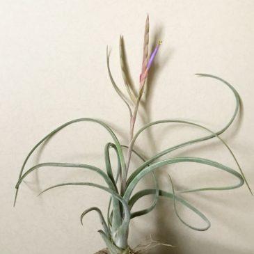 チランジア・カプトメデューサ×プセウドベイレイ Tillandsia caput-medusae × T. pseudobaileyi ティランジア育て方 図鑑