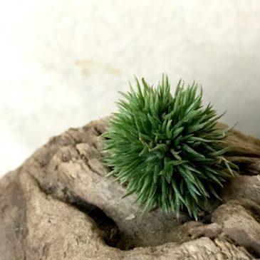 【Frontier Plants】お待たせしました!!オンラインストア11月28日約60種類!価格と画像【エアプランツ チランジア】前編