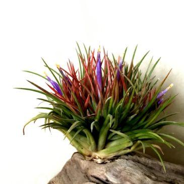チランジア・イオナンタ・クレステッドフォーム Tillandsia ionantha 'Crested Form'ティランジア育て方 図鑑