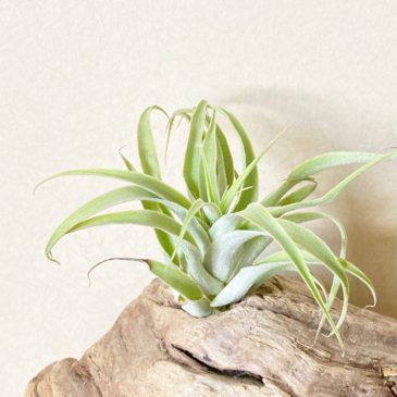 【Frontier Plants】オンラインストア1月16日約40種類!の価格と画像を紹介【エアプランツ チランジア】前編