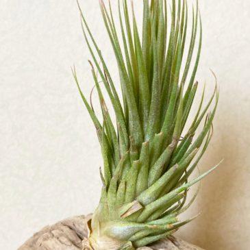 【Frontier Plants】オンラインストア6月12日約60種類!の価格と画像を紹介【エアプランツ チランジア】前編