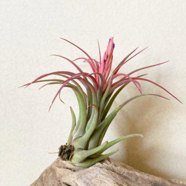 【Frontier Plants】オンラインストア6月12日約60種類!の販売品種と価格一覧【エアプランツ チランジア】