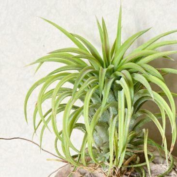 【Frontier Plants】オンラインストア7月17日約50種類!の販売品種と価格一覧【エアプランツ チランジア】